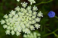 Queen Anne's Lace (25468119510).jpg